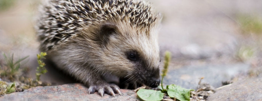 Wirral Animal Sanctuary needs hedge(hog) fund