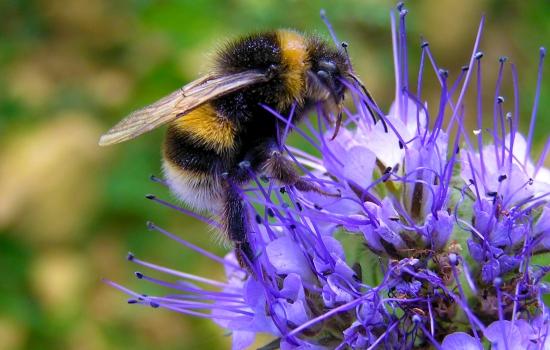 A buff tail male bumblebee